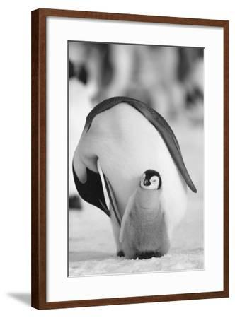 Adult Penguin with Chick-DLILLC-Framed Photographic Print