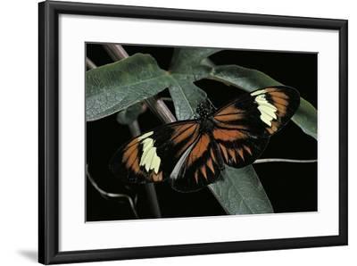Heliconius Melpomene (Postman Butterfly)-Paul Starosta-Framed Photographic Print