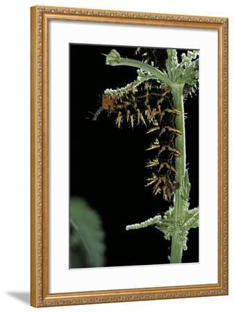 Hypolimnas Bolina (Great Eggfly, Blue Moon Butterfly) - Caterpillar with Orange Spines-Paul Starosta-Framed Photographic Print