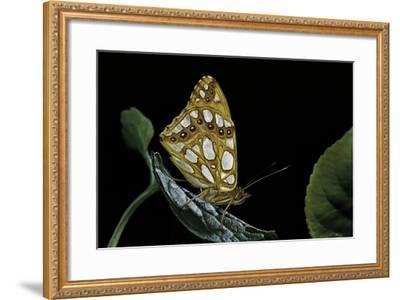 Issoria Lathonia (Queen of Spain Fritillary)-Paul Starosta-Framed Photographic Print