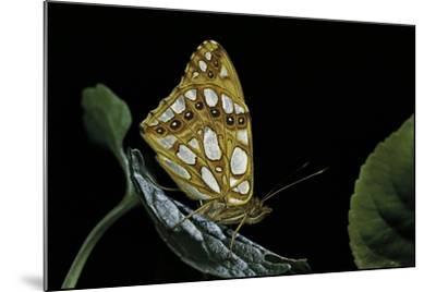 Issoria Lathonia (Queen of Spain Fritillary)-Paul Starosta-Mounted Photographic Print