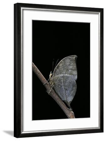 Kallima Inachus (Orange Oakleaf, Dead Leaf Butterfly)-Paul Starosta-Framed Photographic Print