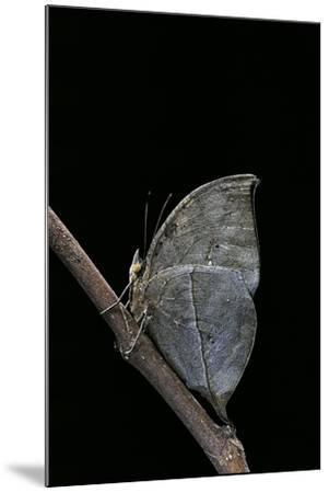 Kallima Inachus (Orange Oakleaf, Dead Leaf Butterfly)-Paul Starosta-Mounted Photographic Print