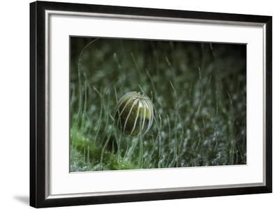 Kallima Inachus (Orange Oakleaf, Dead Leaf Butterfly) - Egg-Paul Starosta-Framed Photographic Print