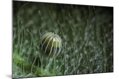 Kallima Inachus (Orange Oakleaf, Dead Leaf Butterfly) - Egg-Paul Starosta-Mounted Photographic Print