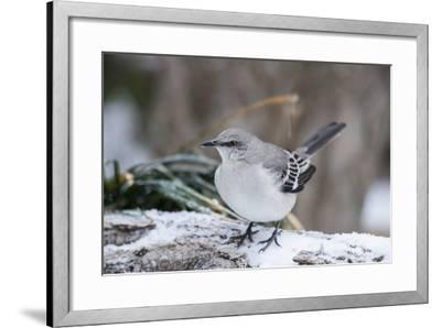 Northern Mockingbird-Gary Carter-Framed Photographic Print