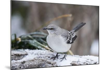 Northern Mockingbird-Gary Carter-Mounted Photographic Print