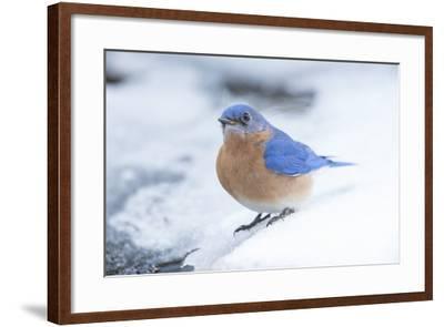 Eastern Bluebird-Gary Carter-Framed Photographic Print