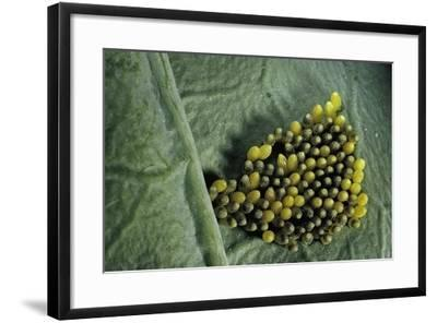 Pieris Brassicae (Large White Butterfly, Cabbage Butterfly) - Old Eggs-Paul Starosta-Framed Photographic Print