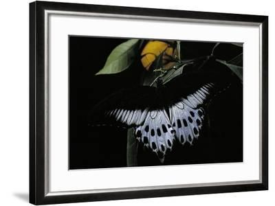 Papilio Polymnestor (Blue Mormon) - Male-Paul Starosta-Framed Photographic Print
