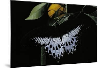 Papilio Polymnestor (Blue Mormon) - Male-Paul Starosta-Mounted Photographic Print