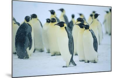 Group of Penguins-DLILLC-Mounted Photographic Print