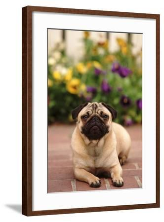 Portrait of a Pug-DLILLC-Framed Photographic Print