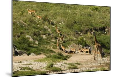 Impala Herd-Mary Ann McDonald-Mounted Photographic Print
