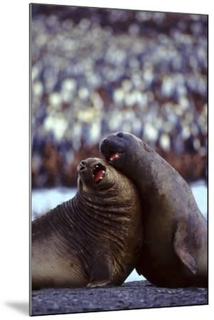 Elephant Seals-DLILLC-Mounted Photographic Print