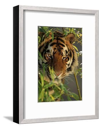 Bengal Tiger behind Bamboo-DLILLC-Framed Photographic Print