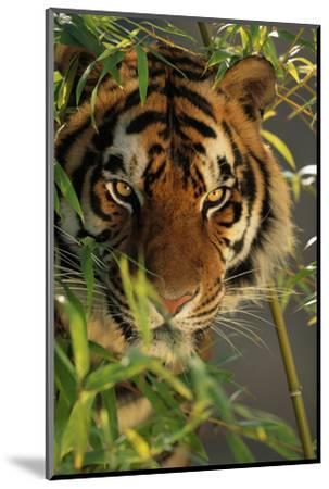 Bengal Tiger behind Bamboo-DLILLC-Mounted Photographic Print
