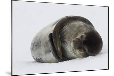 Weddell Seal-Joe McDonald-Mounted Photographic Print