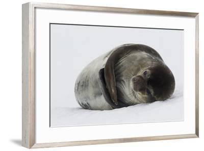 Weddell Seal-Joe McDonald-Framed Photographic Print