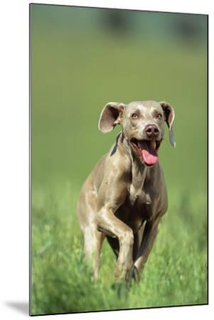 Dog Racing through Grass-DLILLC-Mounted Photographic Print