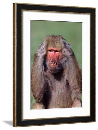 Hamadryas Baboon with Hands on Head-DLILLC-Framed Photographic Print