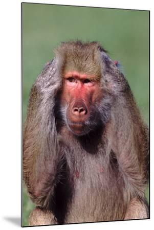 Hamadryas Baboon with Hands on Head-DLILLC-Mounted Photographic Print