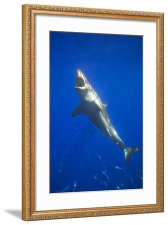 Shark Swimming with School of Fish-DLILLC-Framed Photographic Print