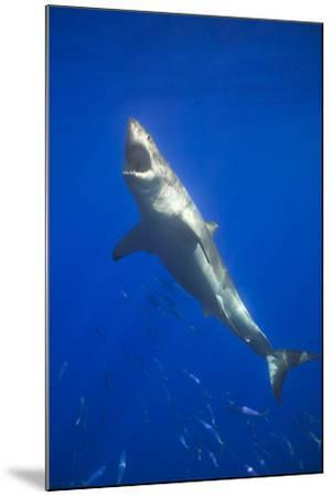 Shark Swimming with School of Fish-DLILLC-Mounted Photographic Print