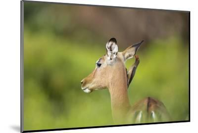 Redbilled Oxpecker on an Impala-Richard Du Toit-Mounted Photographic Print