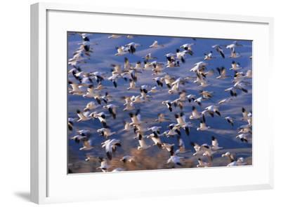 Flock of Snow Geese in Flight-DLILLC-Framed Photographic Print