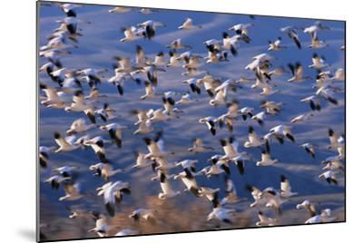 Flock of Snow Geese in Flight-DLILLC-Mounted Photographic Print