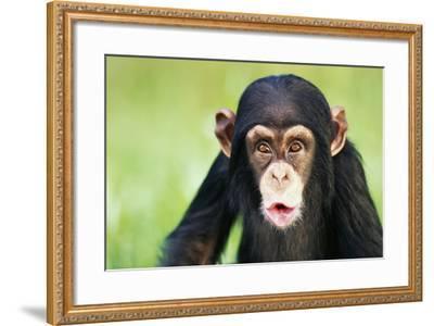 Young Chimpanzee Puckering-DLILLC-Framed Photographic Print
