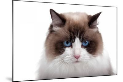 Ragdoll Cat-Fabio Petroni-Mounted Photographic Print