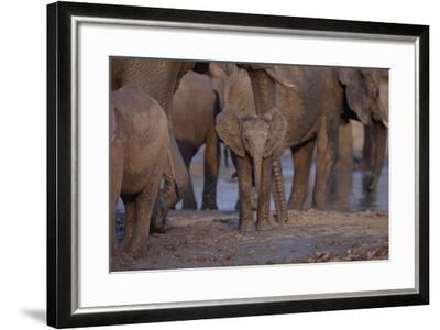 Young and Adult African Elephants-DLILLC-Framed Photographic Print
