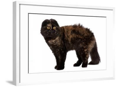 Highland Folt Cat-Fabio Petroni-Framed Photographic Print