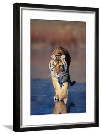 Tiger Walking on Wet Surface-DLILLC-Framed Photographic Print