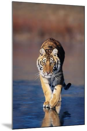 Tiger Walking on Wet Surface-DLILLC-Mounted Photographic Print