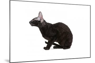 Cornish Rex Cat-Fabio Petroni-Mounted Photographic Print