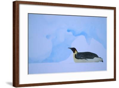 Emperor Penguins Sliding on Stomach-DLILLC-Framed Photographic Print