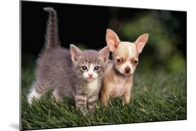Kitten and Chihuahua Puppy-DLILLC-Mounted Photographic Print