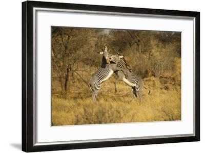 Grevy's Zebra Fighting-Mary Ann McDonald-Framed Photographic Print