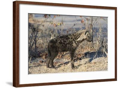 Spotted Hyaena-Sergio Pitamitz-Framed Photographic Print