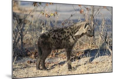 Spotted Hyaena-Sergio Pitamitz-Mounted Photographic Print