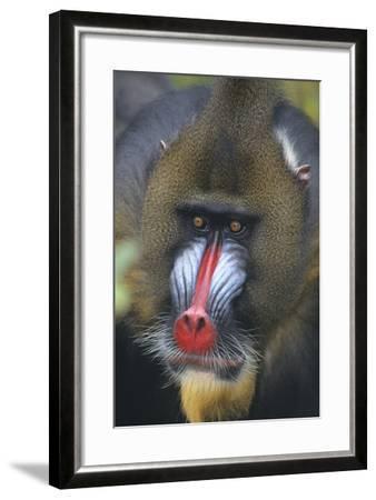 Mandrill-DLILLC-Framed Photographic Print