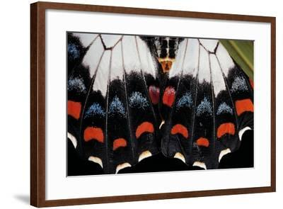 Papilio Aegeus (Orchard Swallowtail Butterfly, Large Citrus Butterfly) - Wings Detail of Female-Paul Starosta-Framed Photographic Print