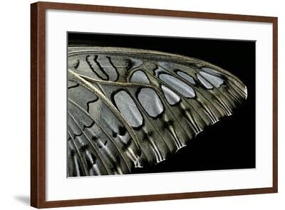 Parthenos Sylvia (Clipper Butterfly) - Wings Detail-Paul Starosta-Framed Photographic Print