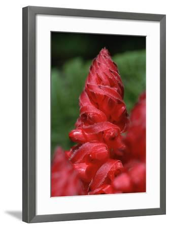 Close-Up of Snow Plant Bloom-Richard A Cooke-Framed Photographic Print