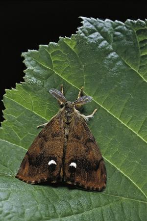 Orgyia Antiqua (Rusty Tussock Moth, Vapourer Moth) - Male-Paul Starosta-Framed Photographic Print