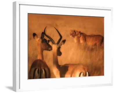 Impalas and Lionesses-DLILLC-Framed Photographic Print