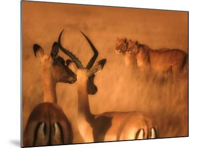 Impalas and Lionesses-DLILLC-Mounted Photographic Print